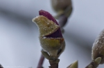 HSNP Arlington Lawn Saucer Magnolia Bud in Snow