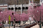 Hot Springs, AR Historic District Cherry Tree Blossoms