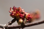 HSNP Fountain Street Tree Buds