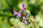 HSNP Carriage Road Purple Henbit