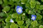 HSNP Floral Trail Birds-Eye Speedwelll Wildflowers