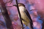 Hot Springs, AR Historic District Cherry Trees Cedar Waxwing