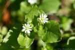 HSNP Dead Chief Trail Chickweed Starwort