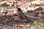 HSNP Floral Trail American Robin