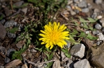 HSNP Carriage Road Dandelion