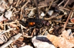 HSNP Hot Springs Mountain Trail Wasp