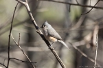 HSNP Hot Springs Mt. Trail Tufted Titmouse