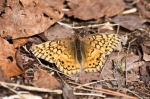 HSNP Goat Rock Trail Variegated Fritillary