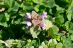 HSNP Grand Promenade Purple Deadnettle
