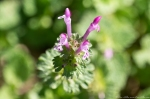 HSNP Grand Promenade Purple Henbit
