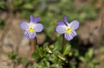 HSNP Hot Springs Mt. Trail Common Field Pansy