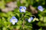 HSNP Grand Promenade Birds-Eye Speedwell