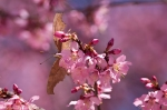 Hot Springs, AR Cherry Trees Eastern Comma Butterfly
