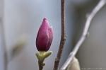 HSNP Arlington Lawn Saucer Magnolia Buds