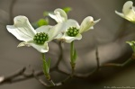 HSNP Dogwood Tree Blossoms