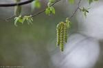 HSNP Promenade Lawn Birch male catkins
