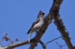 HSNP Fountain Trail Tufted Titmouse