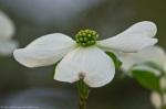 HSNP Arlington Dogwood Blossom