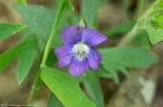 LCSP Falls Branch Trail Wooly Blue Violet
