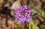 Cedar Glades Blue Trail Rose Verbena