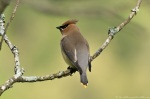 HSNP Carriage Road Cedar Waxwing