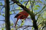 HSNP Carriage Road Male Cardinal