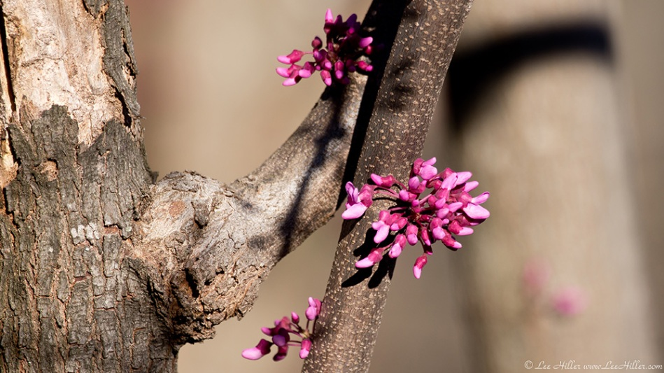 HSNP Hot Springs Mountain Trail Red Bud Tree