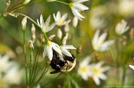 HSNP False Garlic Bumble Bee Physics