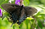 HSNP Hot Spring Mt Trail Spicebush Swallowtail Butterfly