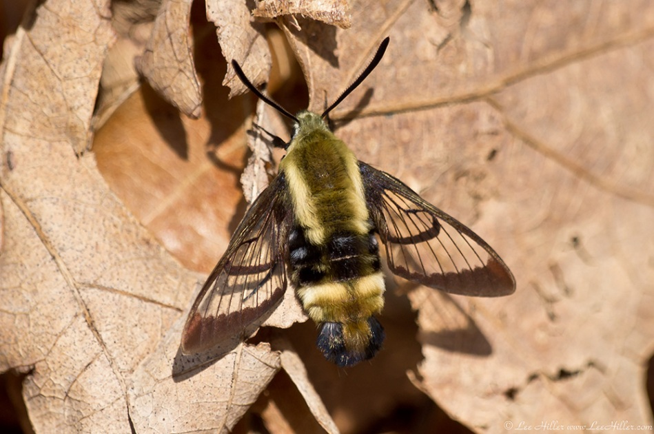 HSNP Dead Chief Trail Clearwing Snowberry Hummingbird Moth