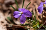 HSNP Hot Springs Mountain Trail Birds Foot Violet