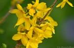 HSNP Yellow Forsythia Blossom Bush