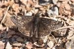 HSNP Short Cut Trail Wild Indigo Duskywing