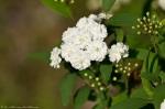 HSNP White Blossom Bush