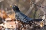 HSNP Honeysuckle Trail American Robin