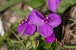 HSNP Hot Springs Mt Trail Pink Spiderwort