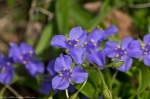HSNP Hot Springs Mt Trail Purple Spiderwort