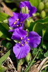 HSNP Hot Springs Mt Trail Violet Spiderwort