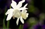 HSNP White Tulips