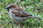 HSNP House Sparrow