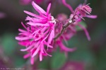 HSNP Fuchsia Flowering Bush