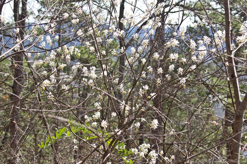HSNP Hot Springs Mt Trail Flowering Tree