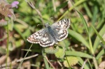 HSNP Promenade Common Checkered Skipper