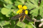 HSNP Promenade False Bee Yellow Oxalis