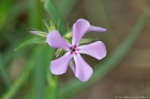 LCSP Horseshoe Mt Trail Phlox