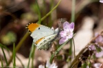 HSNP Hot Springs Mt Trail Falcate Orangetip