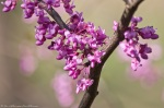HSNP Promenade Red Bud Tree