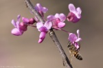 HSNP Promenade Red Bud Tree Honey Bee