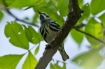LCSP Horseshoe Mt Trail Black White Warbler