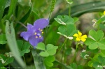 LCSP Horseshoe Mt Trail Spiderwort Yellow Oxalis